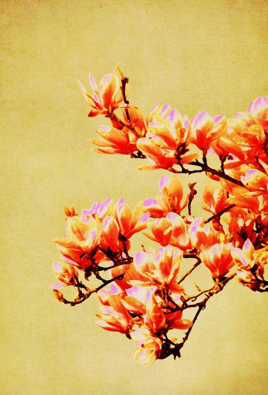 Magnolia Glow Acrylic Print
