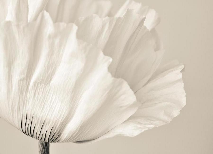 White Poppy -Leinwandbild