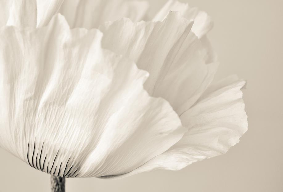 White Poppy -Acrylglasbild