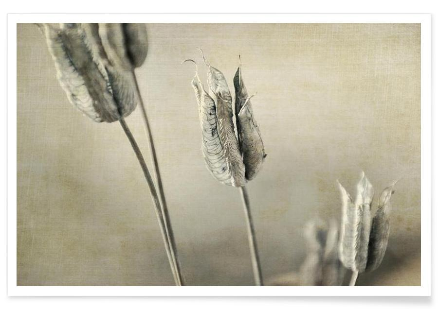 Aquilegia Seed Heads -Poster