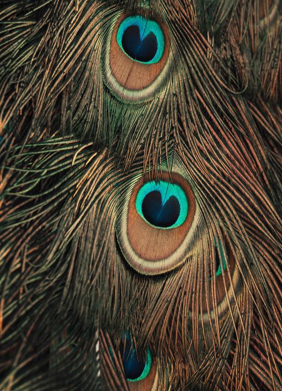 Peacock Feathers -Leinwandbild