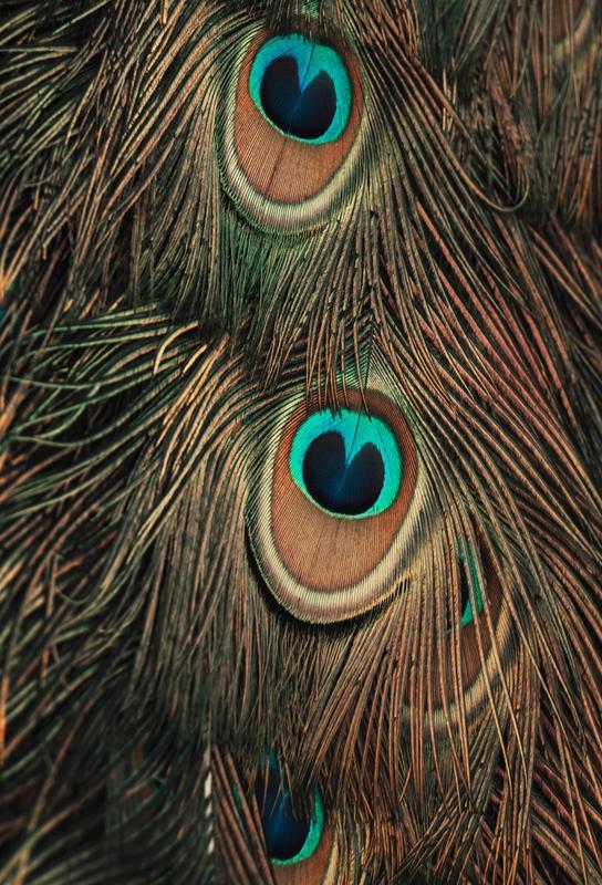 Peacock Feathers -Alubild