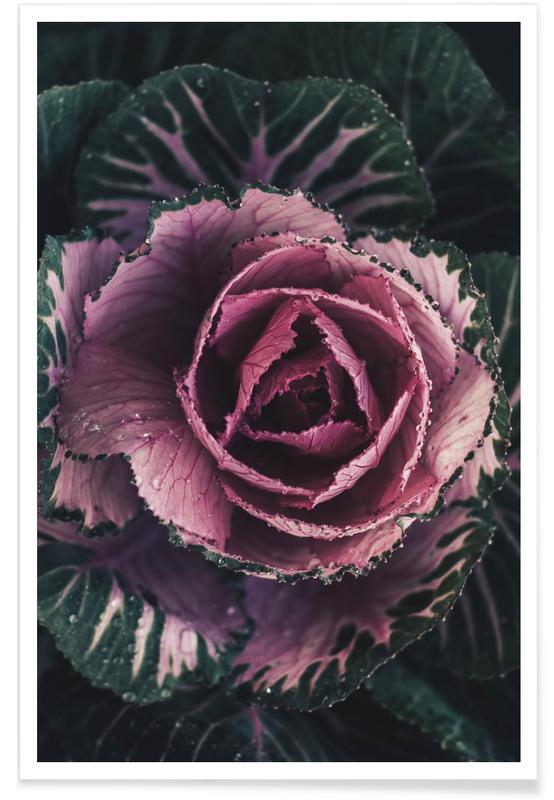 Roses, Pink Rosette Poster