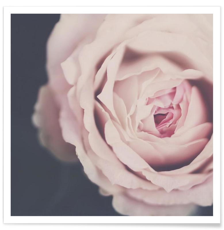 Roses, Rose Pink affiche