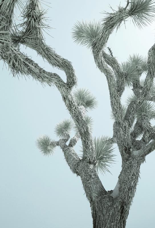Joshua Tree -Alubild