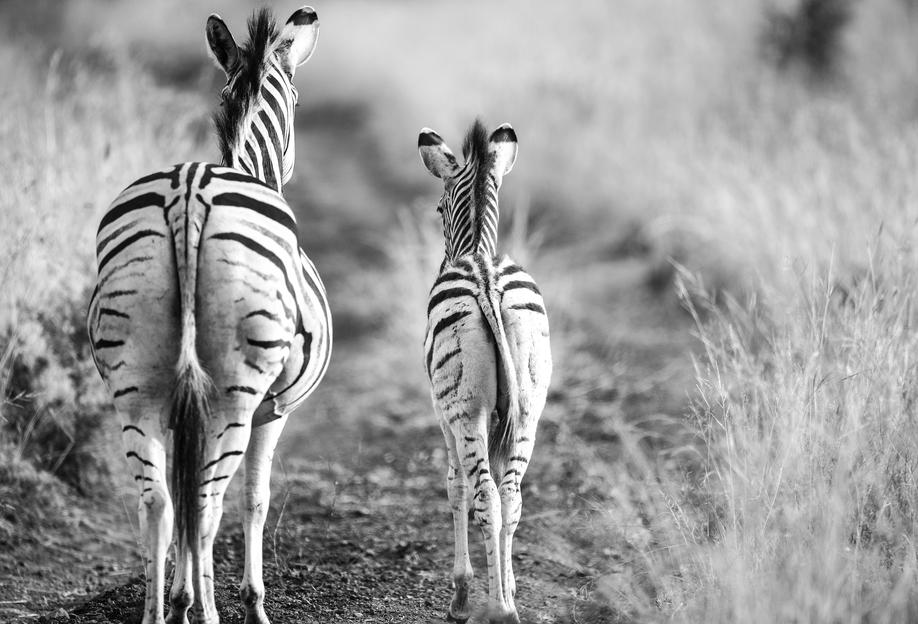Zebra family tableau en verre