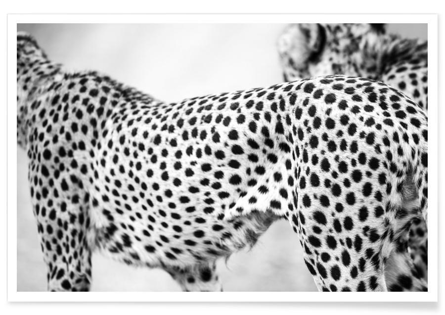 Noir & blanc, Guépards, Cheetah affiche