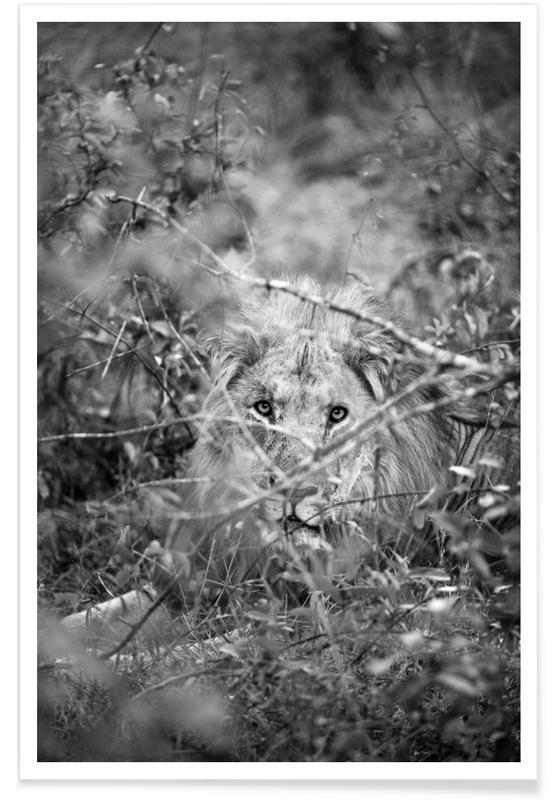 Sort & hvidt, Løver, Lion Plakat