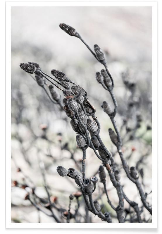 Blätter & Pflanzen, Swartberg Protea 4 -Poster