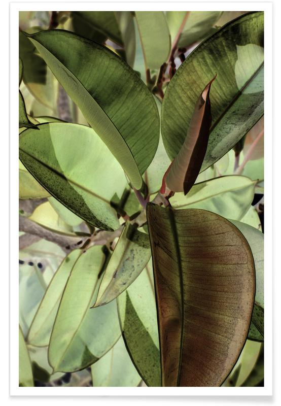 Ficus Elastica Poster