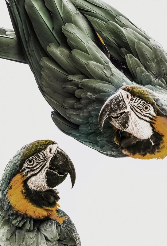 Birds of Paradise 01 -Acrylglasbild