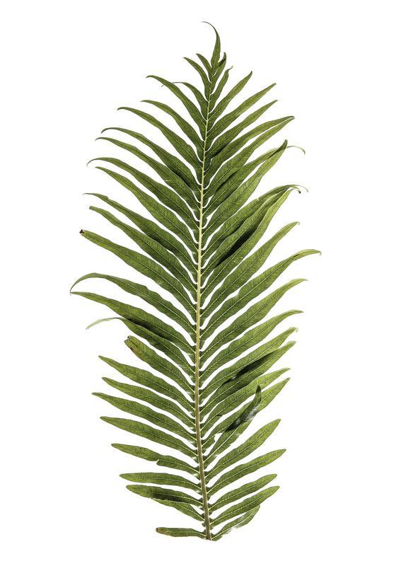 Baobab Leaf -Leinwandbild