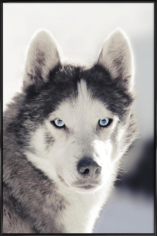 Husky Framed Poster