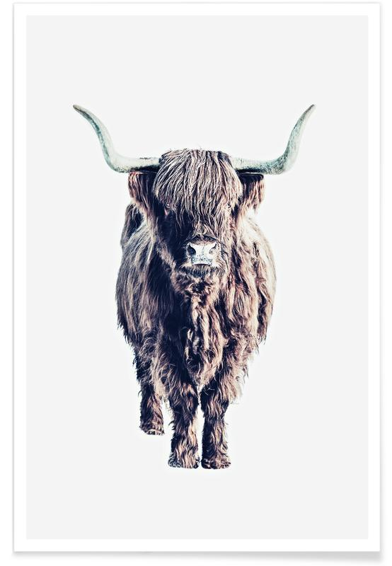 Highland Cows, Buffalos, Highland Cattle Colin White Poster