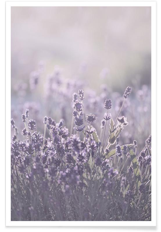 , Sunkissed Lavender Poster