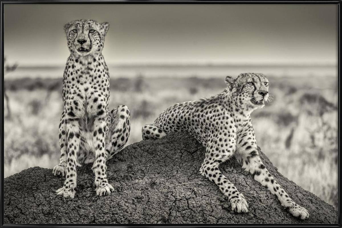 Two Cheetahs Watching Out - Henrike Scheid Framed Poster