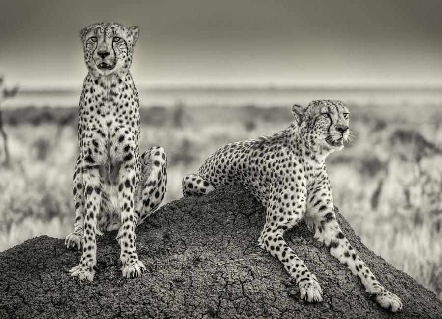 Two Cheetahs Watching Out - Henrike Scheid Canvas Print