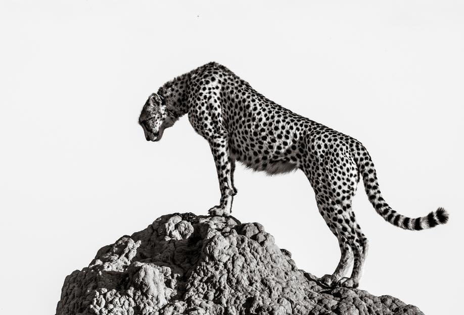 The Hunter - ali Aluminium Print