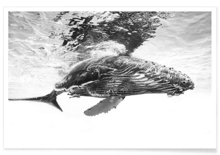 Humpback Whale Calf - Barathieu Gabriel -Poster