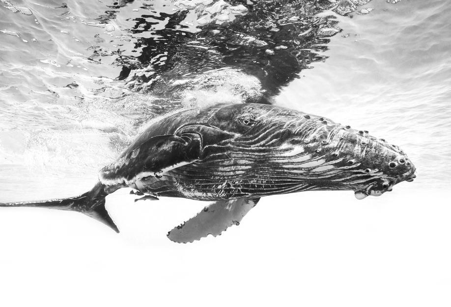 Humpback Whale Calf - Barathieu Gabriel Aluminium Print