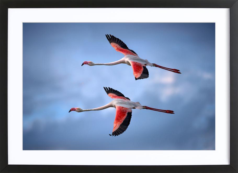 Greater Flamingos - Xavier Ortega -Bild mit Holzrahmen