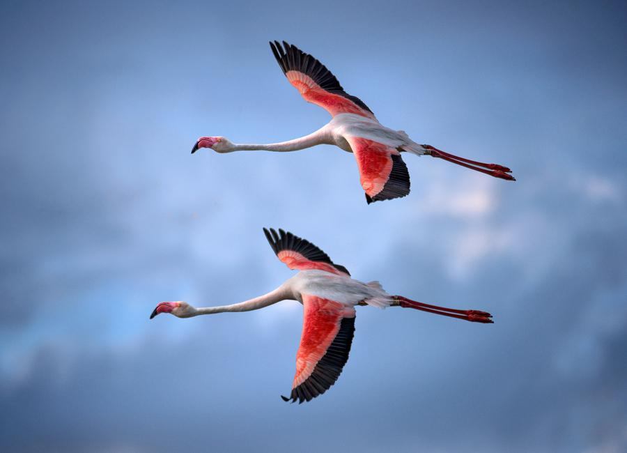 Greater Flamingos - Xavier Ortega Canvas Print