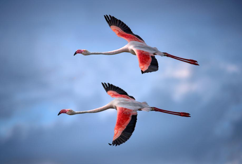 Greater Flamingos - Xavier Ortega Acrylic Print