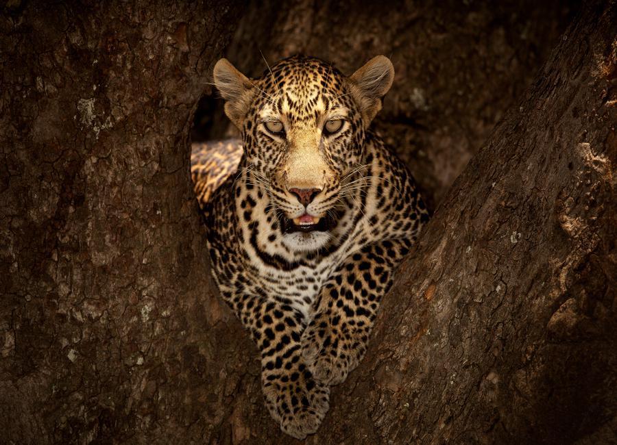Leopard Resting on a Tree at Masai Mara - OzkanOzmen toile