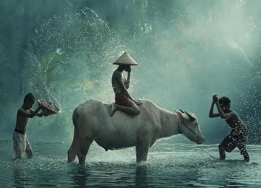 Water Buffalo - Vichaya Canvas Print