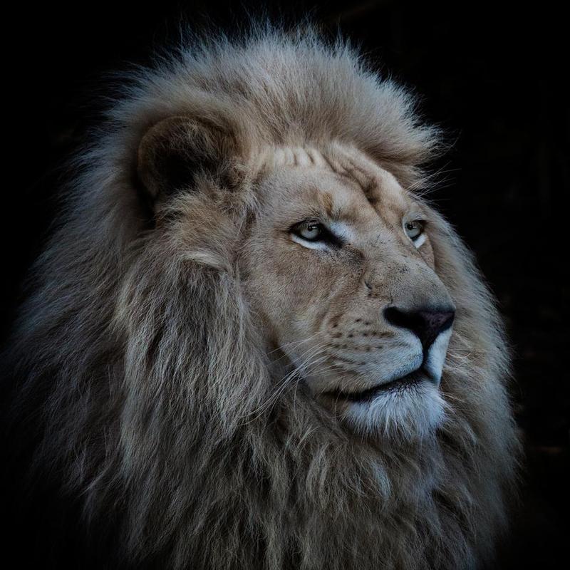 Proud Lion - Louise Wolbergs -Alubild