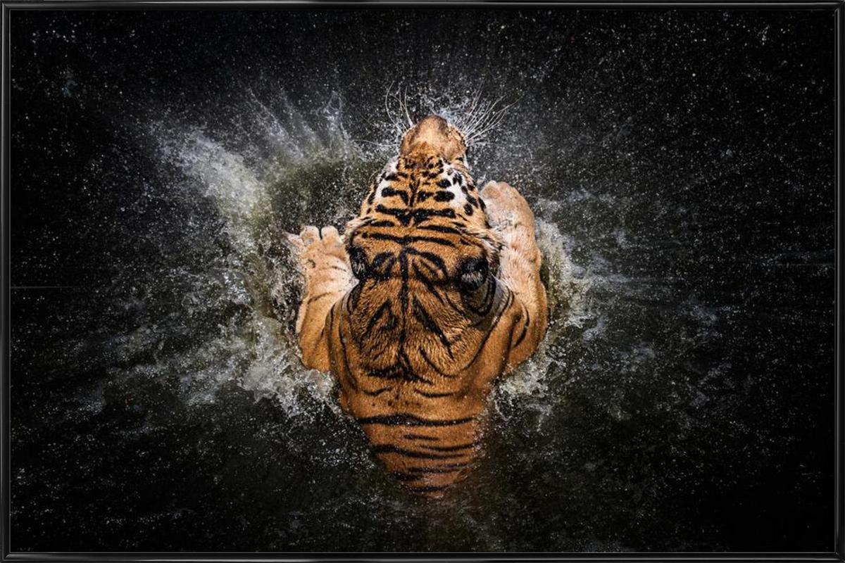 Tiger Splash - Win Leslee affiche encadrée