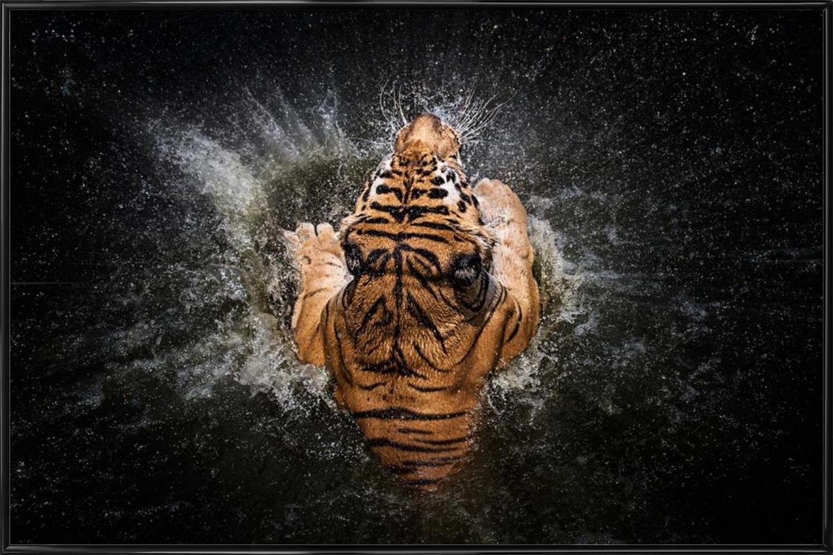 Tiger Splash - Win Leslee -Bild mit Kunststoffrahmen