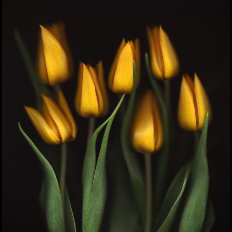 Tulips - Brian Haslam -Leinwandbild