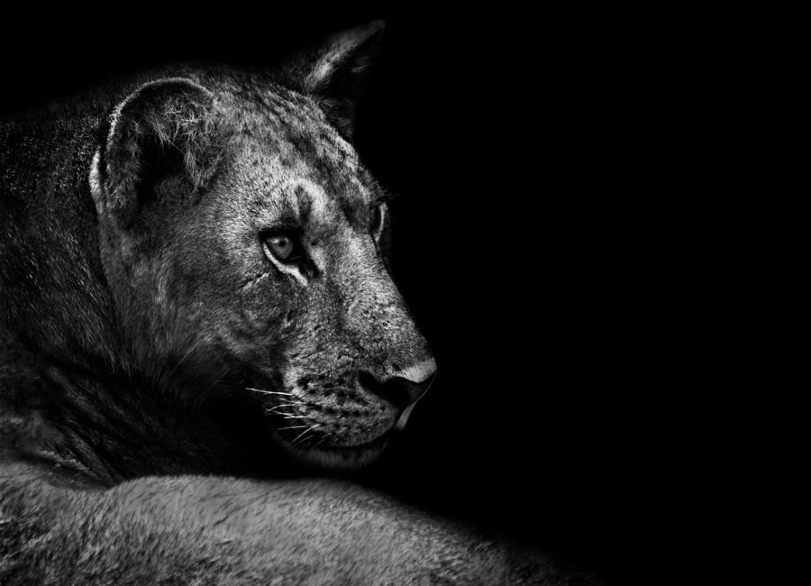 Lion - Wild Photo Art -Leinwandbild