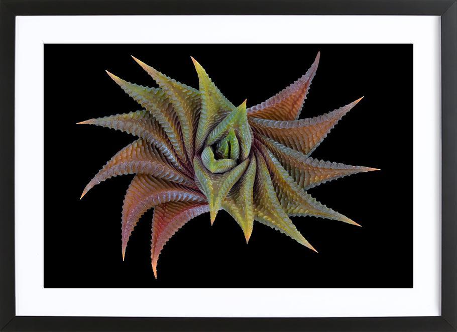 Haworthia Limifolia - Victor Mozqueda ingelijste print
