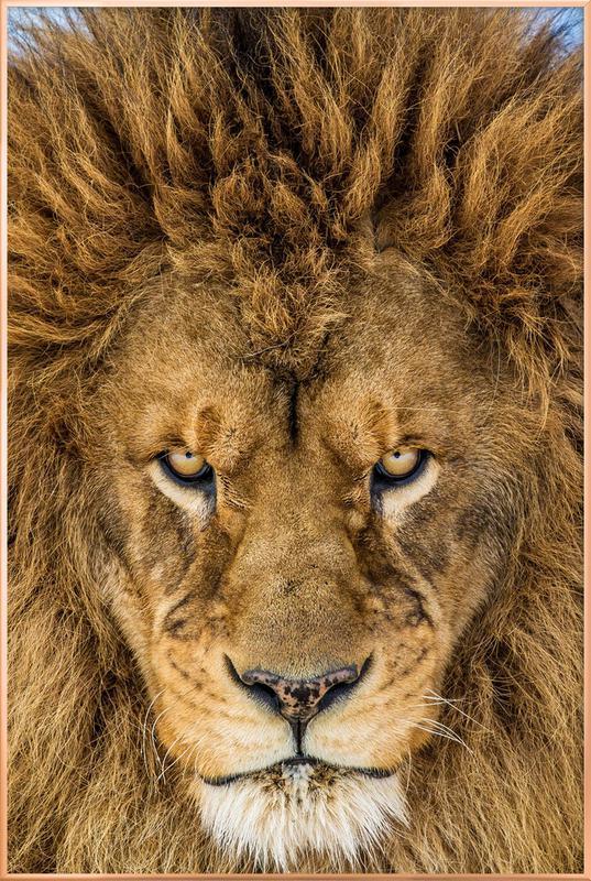 Serious Lion - Mike Centioli -Poster im Alurahmen