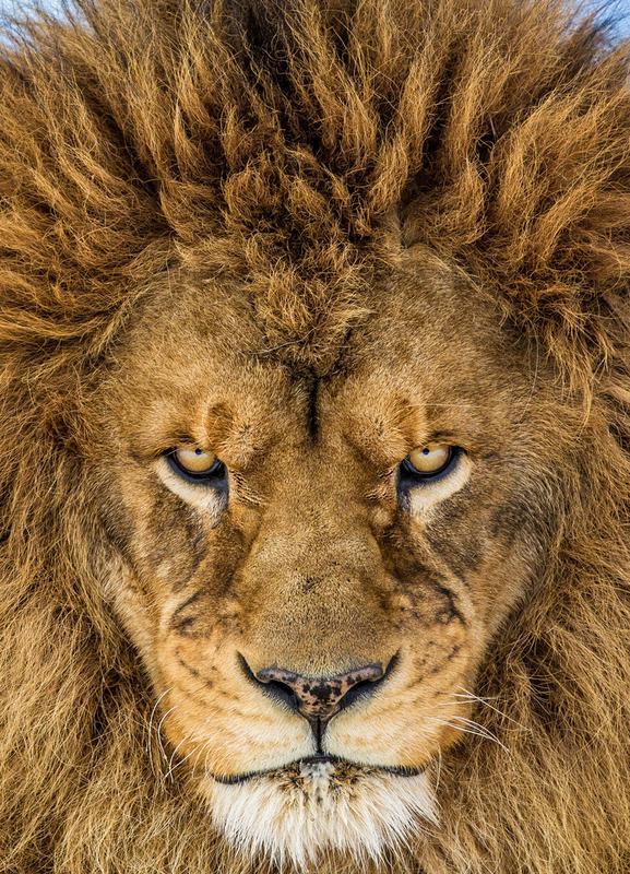 Serious Lion - Mike Centioli -Leinwandbild