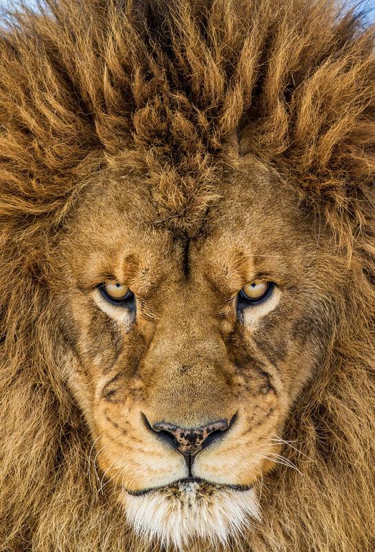 Serious Lion - Mike Centioli -Acrylglasbild