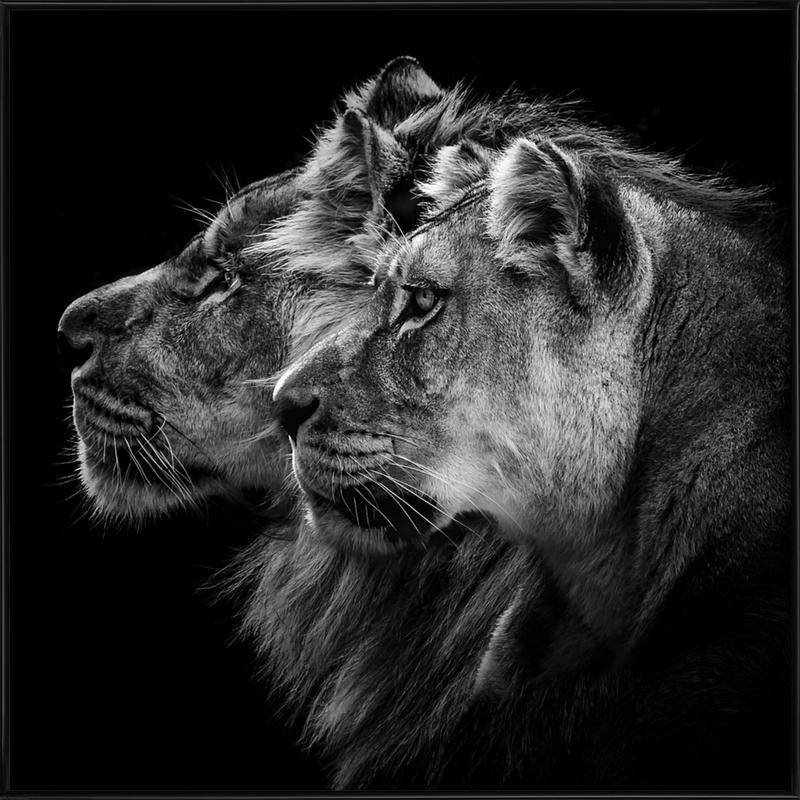 Lion And  Lioness Pt - Laurent Lothare Dambreville -Bild mit Kunststoffrahmen