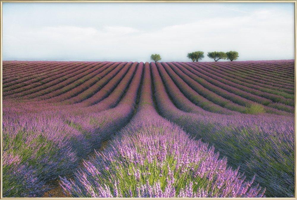 Velours De Lavender - Margarita Chernilova Poster in Aluminium Frame