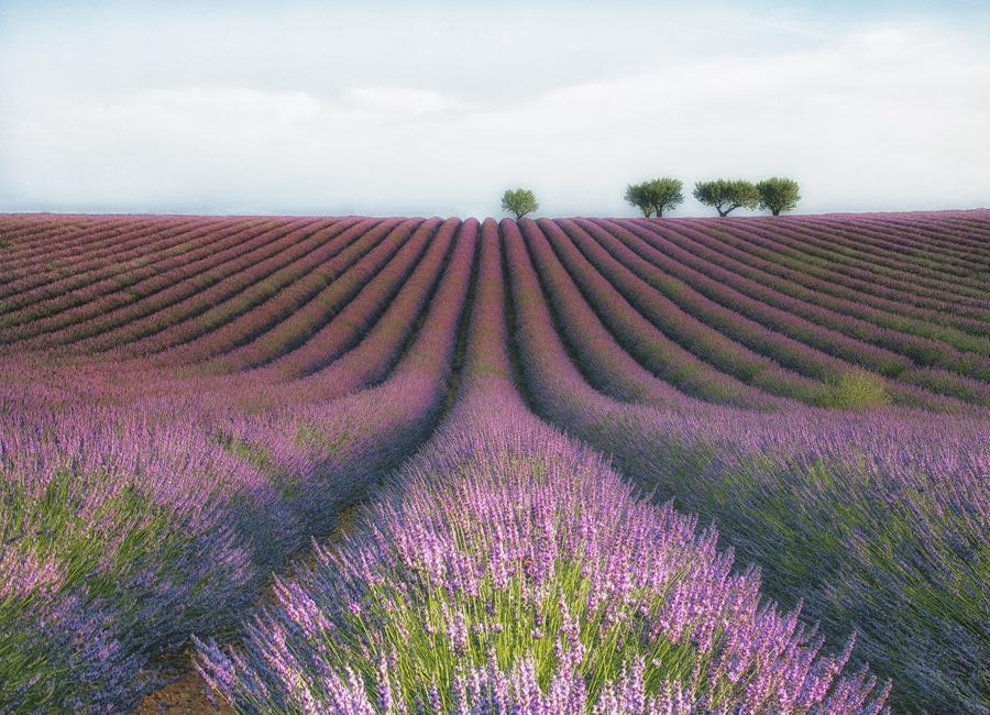 Velours De Lavender - Margarita Chernilova Canvas Print