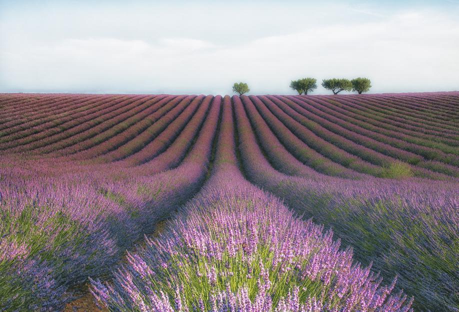 Velours De Lavender - Margarita Chernilova Aluminium Print