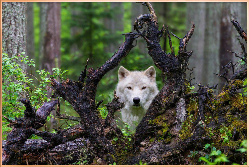 Wolf poster in aluminium lijst
