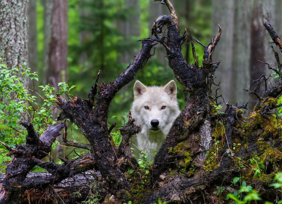 Wolf canvas doek