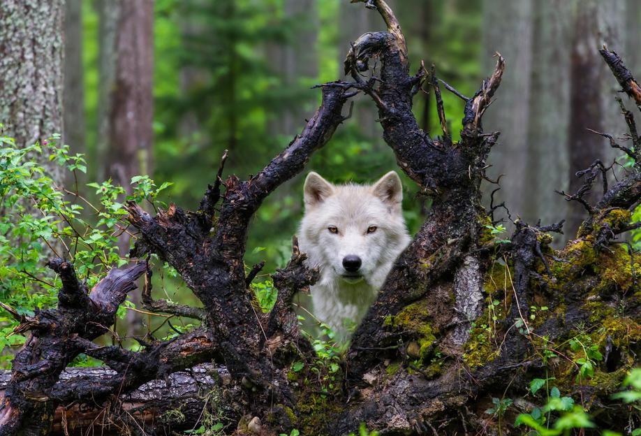 Wolf acrylglas print
