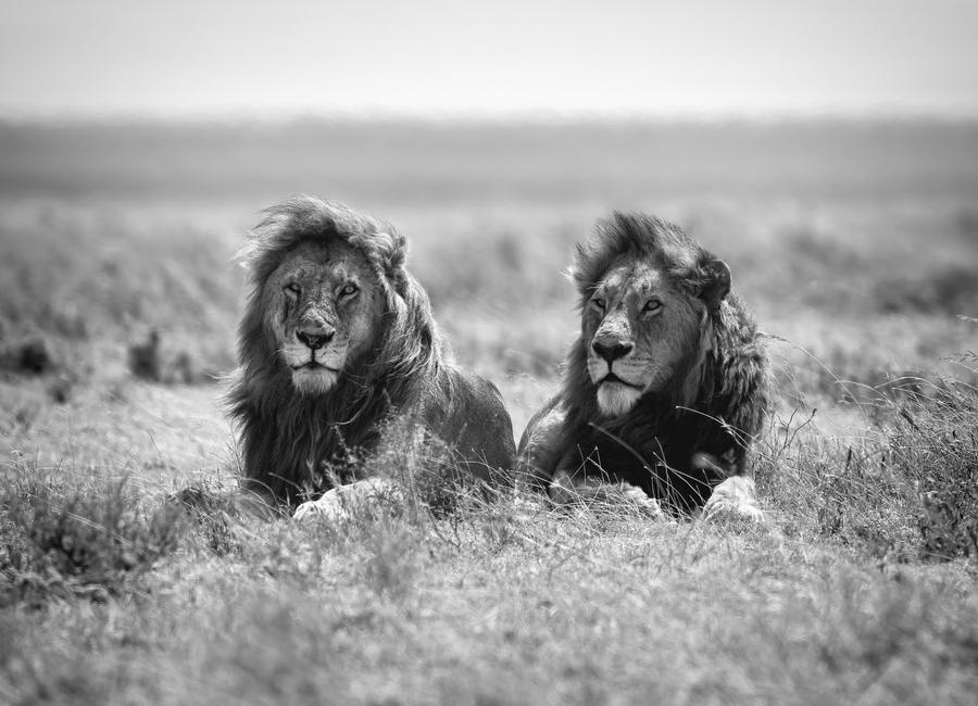 Two Kings - Nicolas Merino -Leinwandbild