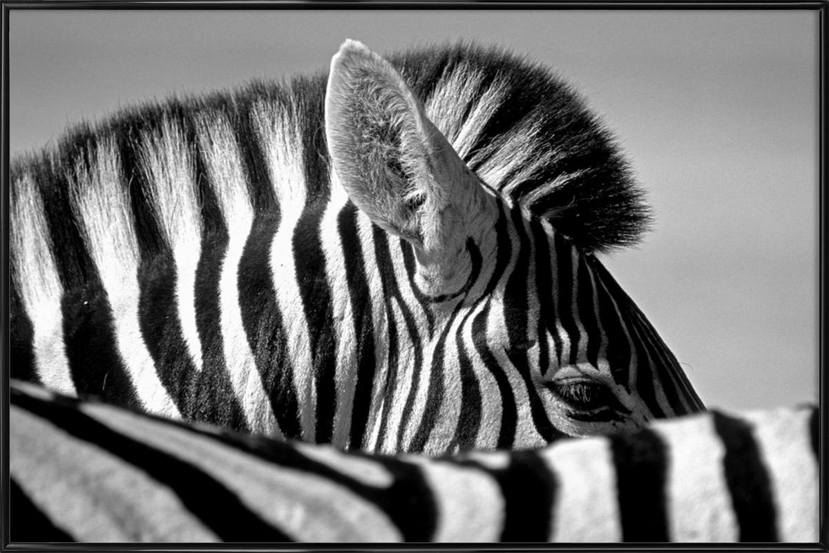 Curious Zebra - Marc Pelissier -Bild mit Kunststoffrahmen