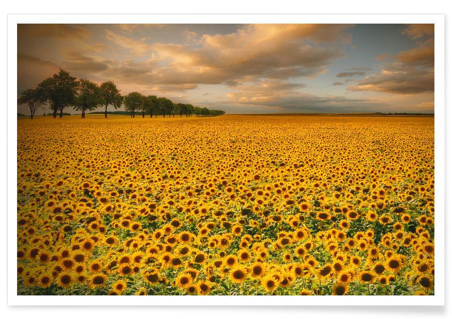 Sunflowers - Piotr Krol (Bax) poster