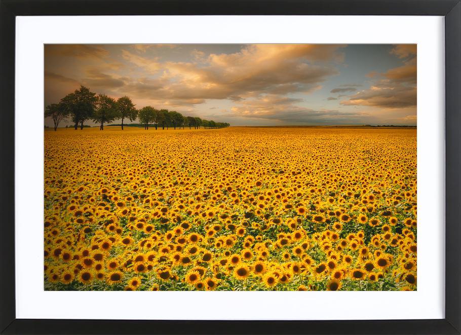 Sunflowers - Piotr Krol (Bax) Framed Print