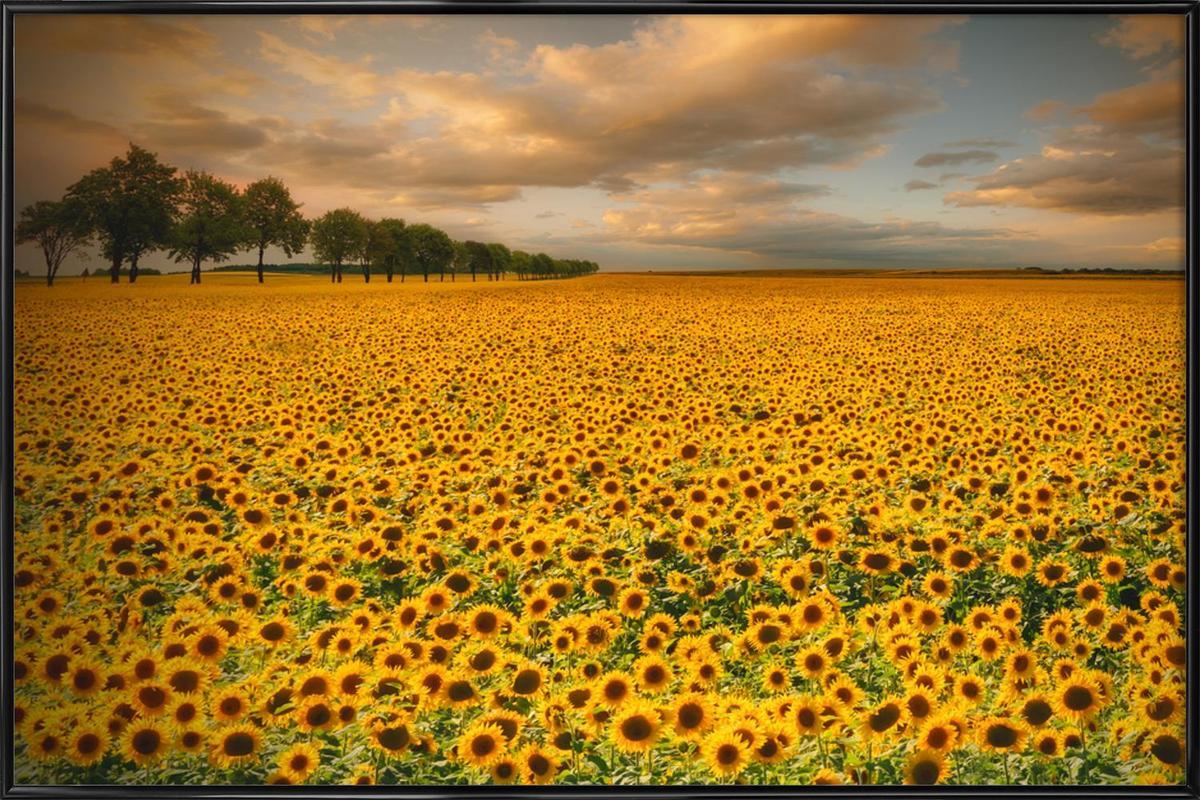 Sunflowers - Piotr Krol (Bax) Framed Poster